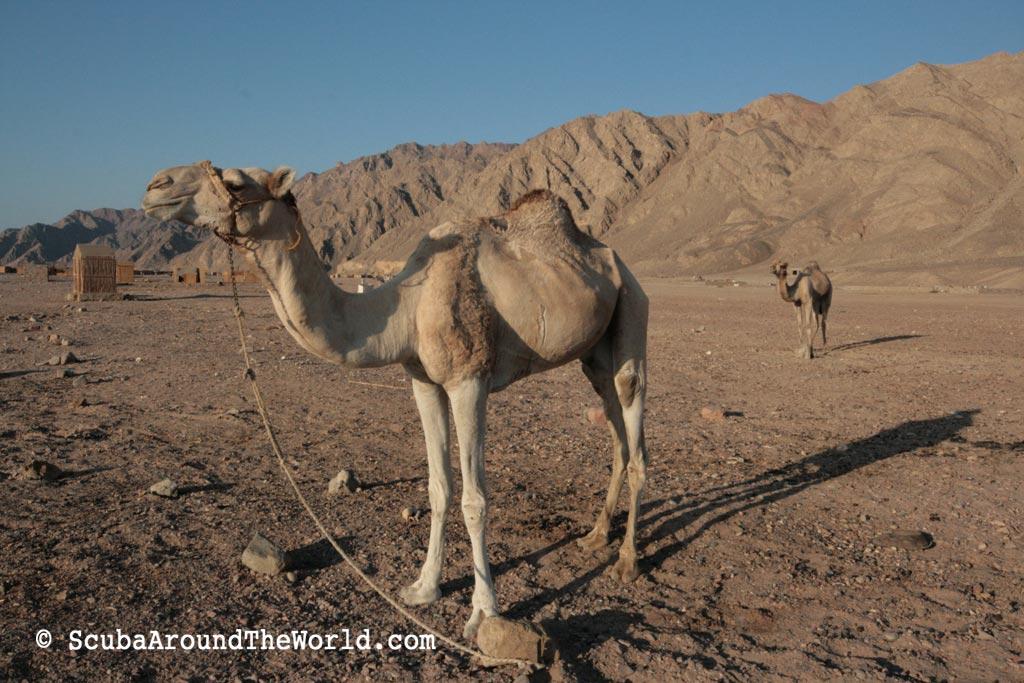 ScubaAroundTheWorld.com - blog: dive destination Dahab - camels at Abu Galum