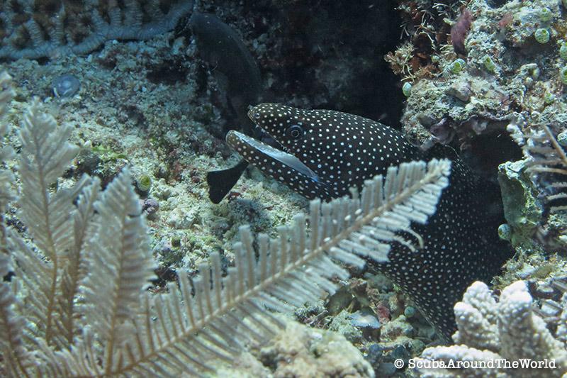 ScubaAroundTheWorld - Scuba diving Bunaken Indonesia - white mouth moray eel